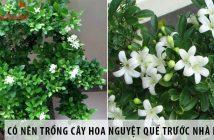 Có nên trồng cây hoa nguyệt quế trước nhà không?