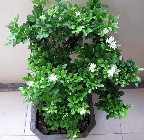 Cây hoa nguyệt quế có thể trồng trước nhà