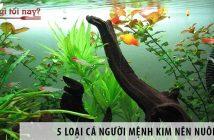5 loại cá người mệnh Kim nên nuôi để đón tài lộc vào nhà