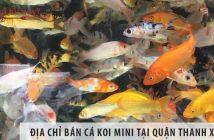 Địa chỉ bán cá Koi mini đẹp, giá rẻ tại quận Thanh Xuân
