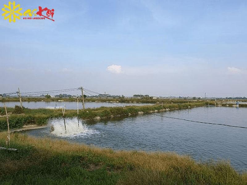 Trại cá lớn nhất miền Bắc của Askoi Farm