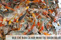 Ở đâu bán cá Koi mini đẹp, giá rẻ tại quận Ba Đình