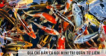Ở đâu bán cá Koi mini đẹp, giả rẻ tại Quận Từ Liêm?